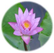 bulle-lotus